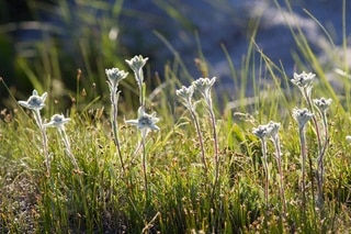 Edelweiss and grass