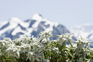 Large cluster of Edelweiss with mountains in distance