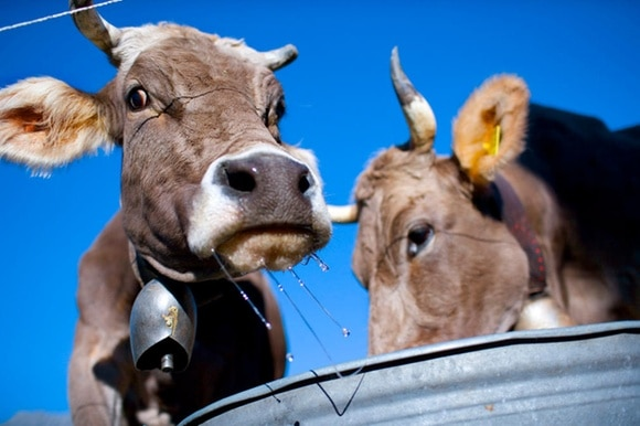 Two cows with bells around their necks eat from a metal trough