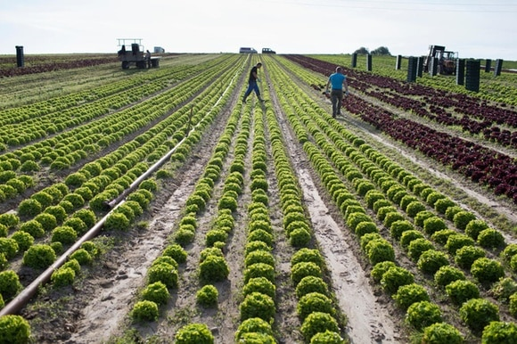 Foreign workers from Poland cut organically-grown salad in a field near Kerzers