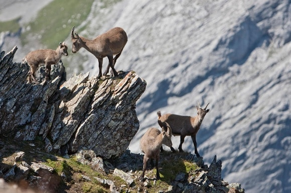 Female Alpine Ibexes (Capra ibex) with a young one at the Muttsee lake near Linthal in the canton of Glarus, Switzerland