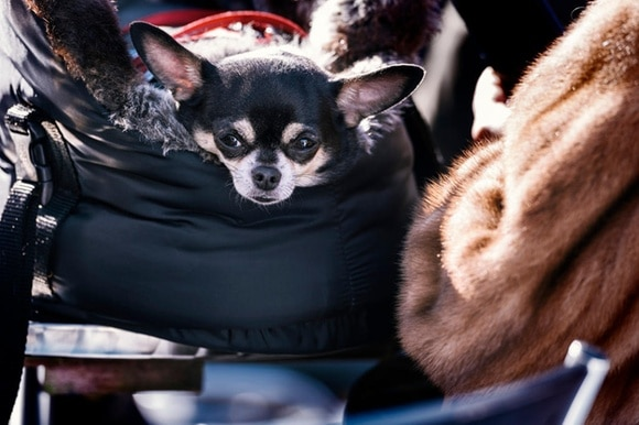 A small dog peeks out of a bag next to a person wearing a fur coat