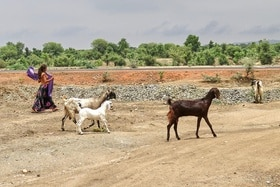 girl grazing goats