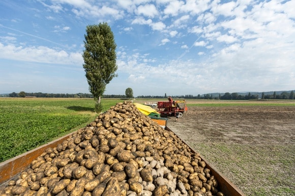 A trailer full of potatoes with a farm vehicle in the background