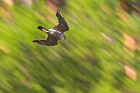 A peregrine falcon in flight