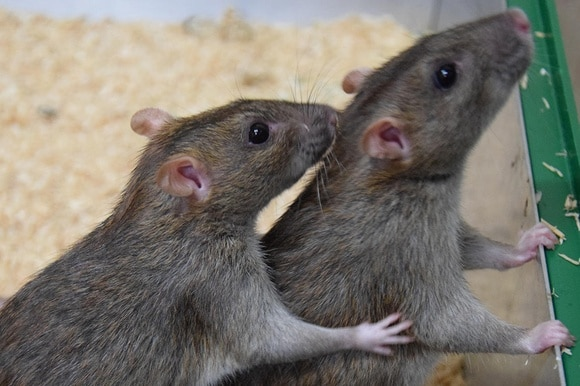 A brown rat grooming another brown rat