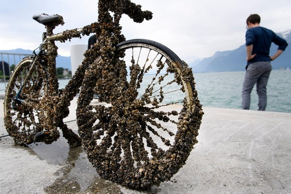 A bicycle covered in mussels
