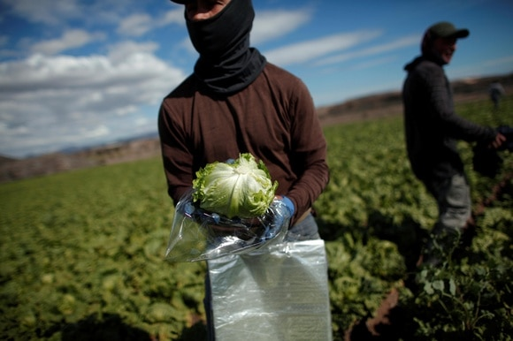 A worker wraps an iceberg lettuce at a lettuce plantation in Spain