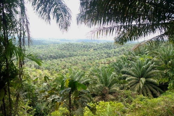 palm oil plantations