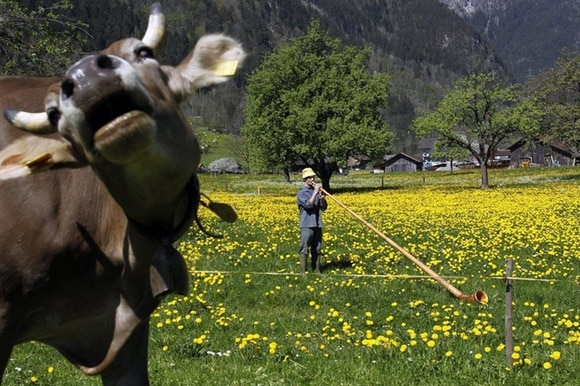 An organic farmer plays the Alphorn while a cow stands nearby