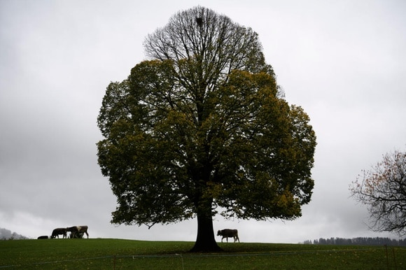 large tree in meadow