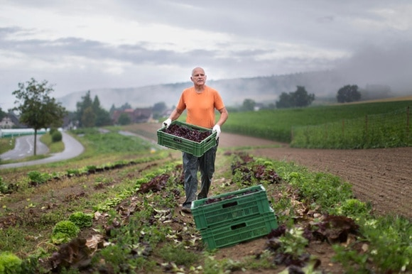 Vegetable farmer harvesting lettuce