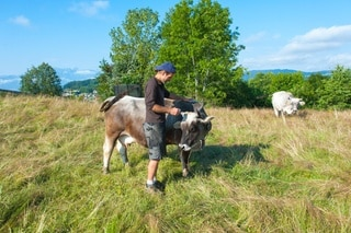 Man with grey cow