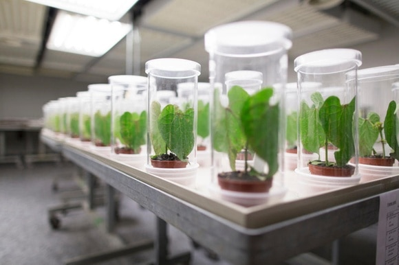 plants in test tubes at syngenta