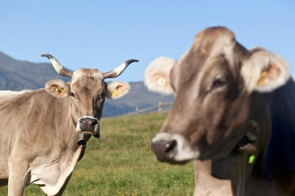 One cow with horns, one without