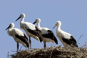 Storks standing on a nest