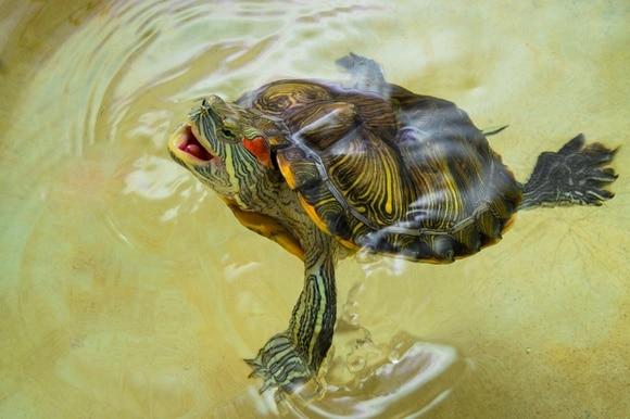 водяная черепашка