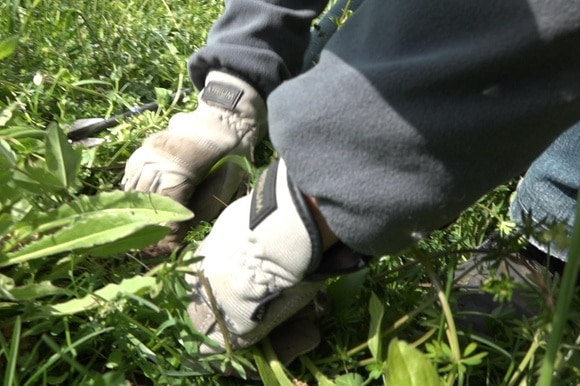 close up hands digging out weed