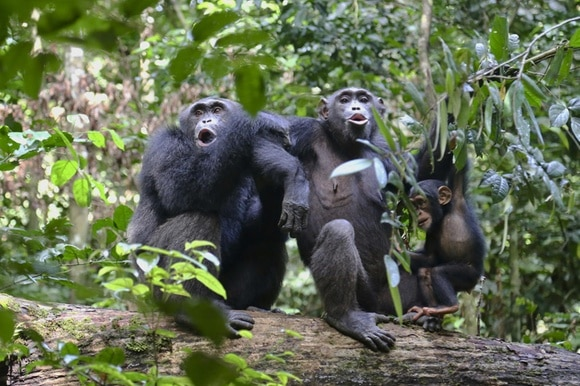 a family of chimps in the rainforest