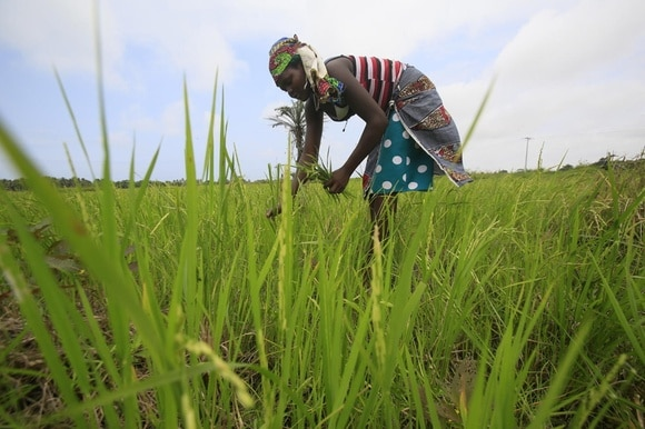 Woman planting rice seeds in field in Cote D Ivoire