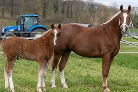 horse with foal in a meadow
