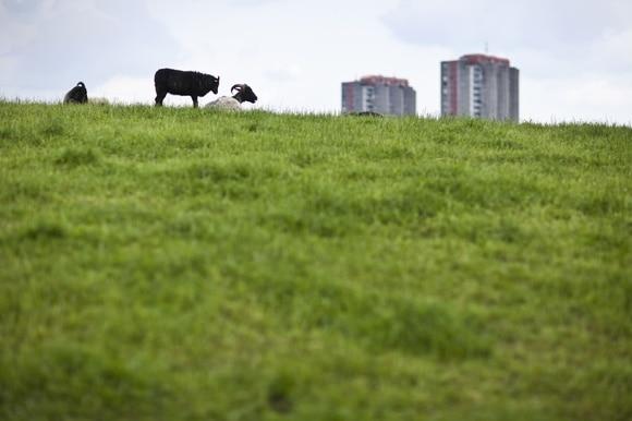 Schafe auf einer Wiese vor Hochhaus