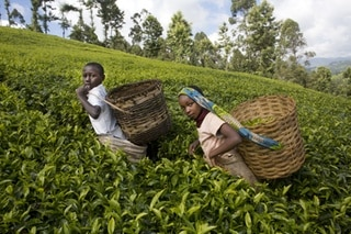 Children harvesting tea leaves, Kenya.