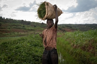Jean Claude Niyibizi, 13 years old, is cutting grass to feed the cows of his parents.